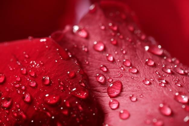 クローズアップマクロバラの花びら、水滴 Premium写真