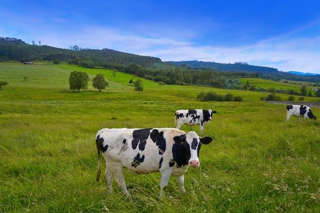 アストゥリアス草原スペインでフリージアン牛 Premium写真