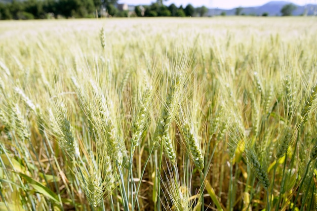 グリーン小麦畑の詳細 Premium写真