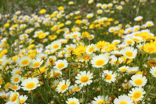 Маргаритка желтые цветы зелёная природа луг Premium Фотографии