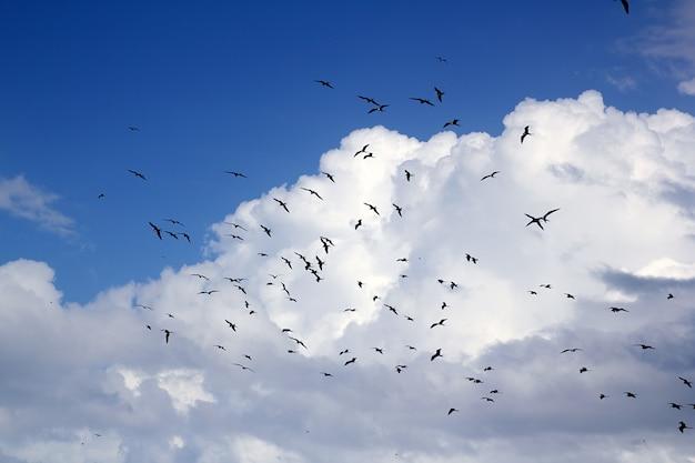 フリゲート鳥シルエットバックライト繁殖期 Premium写真