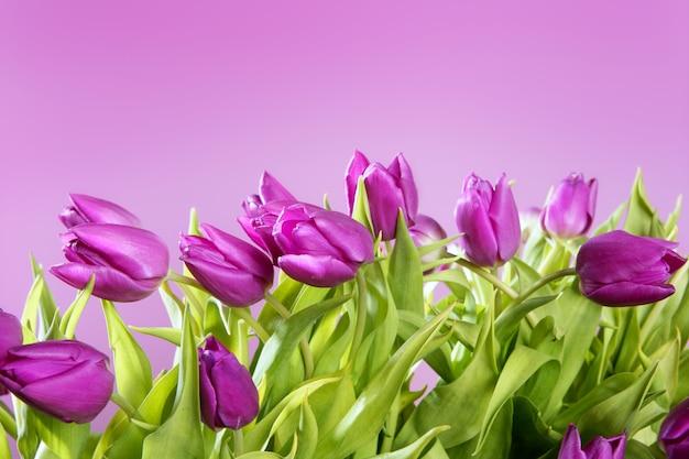 チューリップピンクの花ピンクスタジオ撮影 Premium写真