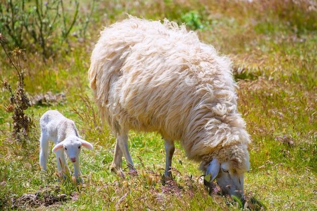 母羊と子羊の子羊 Premium写真