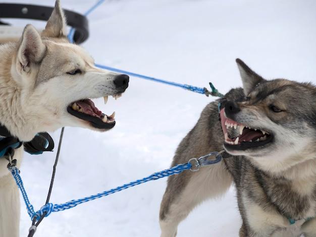 雪に覆われたフィールドで遊ぶ犬 Premium写真
