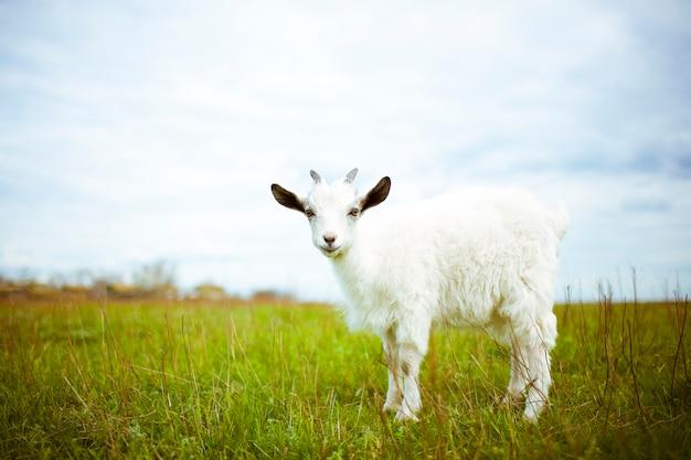 若いヤギが牧草地に放牧して笑っています。彼はカメラを覗きます。 Premium写真