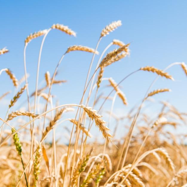 黄金の小麦畑の秋の風景 Premium写真