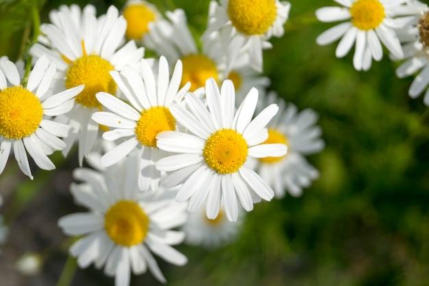 芝生の上の夏のヒナギク Premium写真