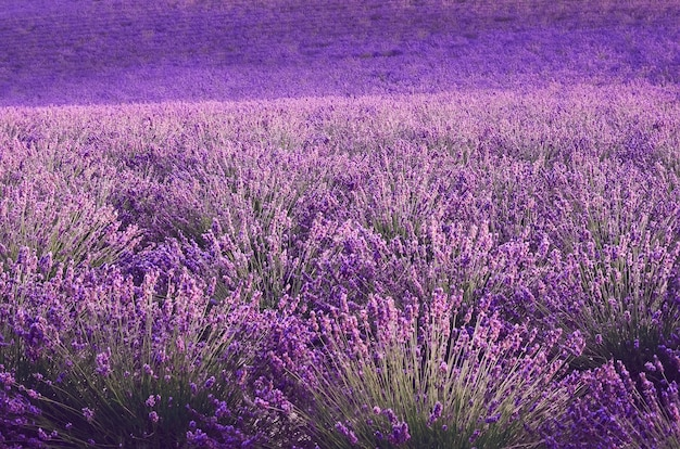 Сиреневое поле лаванды, летний пейзаж возле валансоль в провансе, франция. природа с копией пространства. Premium Фотографии