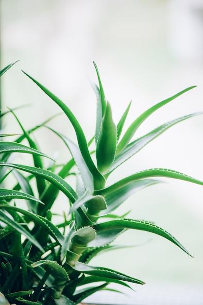 緑のアロエベラの植物。熱帯アロエ。漢方薬と自然農園 Premium写真