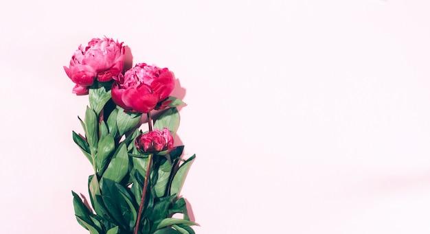 パステル調の背景にハードシャドウと美しいピンクの牡丹の花 Premium写真