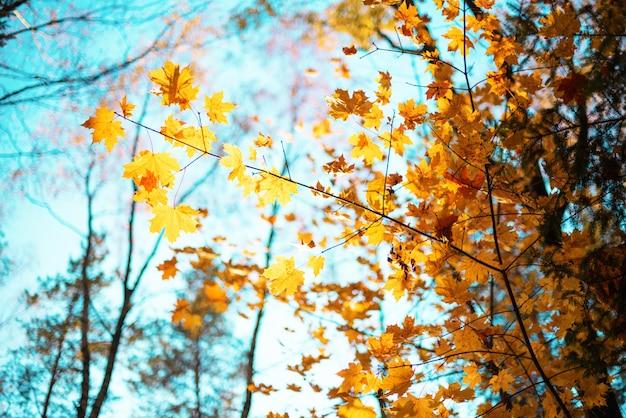 Золотая осень концепция с копией пространства. солнечный день, теплая погода. Premium Фотографии