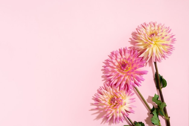 ピンクの背景にダリアの花 Premium写真
