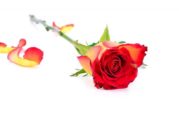 Красивая легла желто-красная роза Premium Фотографии
