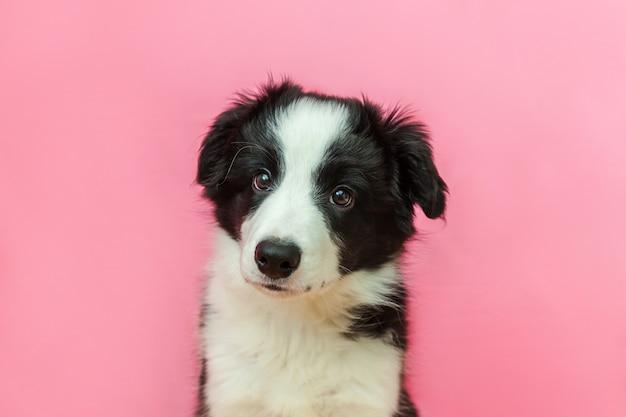 ピンクのパステル調の背景にかわいい笑顔子犬犬ボーダーコリーの面白いスタジオポートレート Premium写真