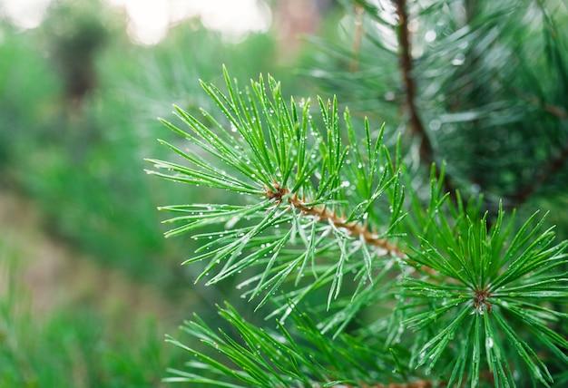 緑の松の枝のクローズアップ Premium写真