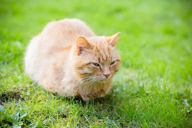 赤毛の眠そうな猫の肖像画 Premium写真