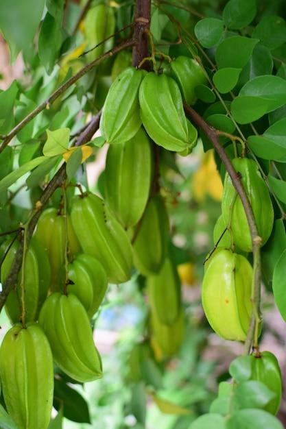 グーズベリーまたはスターアップル、木の上の新鮮なグーズベリー、庭の緑の葉、農作物、健康的な果物、甘酸っぱい味 Premium写真