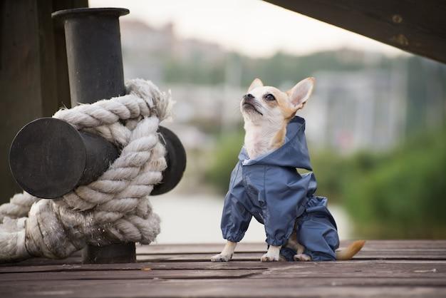 散歩に服を着て小さな犬 Premium写真