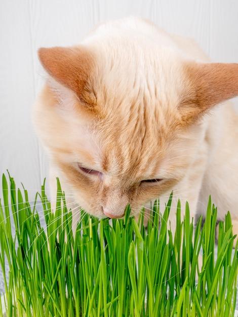 猫は新鮮な緑の草を食べています。猫草、ペット草。自然なヘアボール治療、白、赤のペットの猫、新鮮な草、緑のオート麦、感情的に、コピースペース、ペットの健康の概念を食べる Premium写真