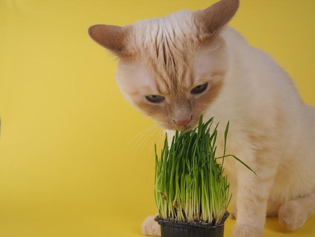 猫は新鮮な緑の草を食べています。 Premium写真