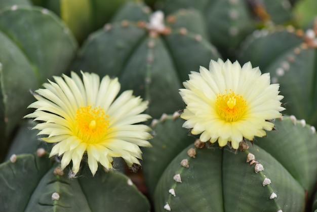 庭に咲く美しい黄色のサボテンの花のマクロのクローズアップ。セレクティブフォーカス Premium写真