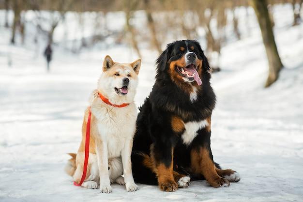 秋田犬とベルンマウンテン犬が冬の公園に並んで座っている 無料写真
