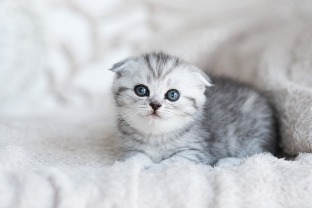青い目の小さな灰色の子猫が灰色のソファに横たわっています 無料写真