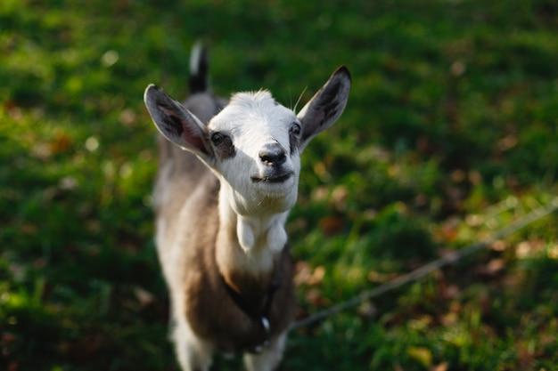 緑の芝生の上の魅力的な白いヤギを上から見てください 無料写真