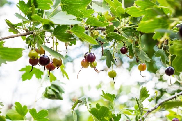 新鮮な黒スグリと明るい夏の庭の枝の葉 Premium写真