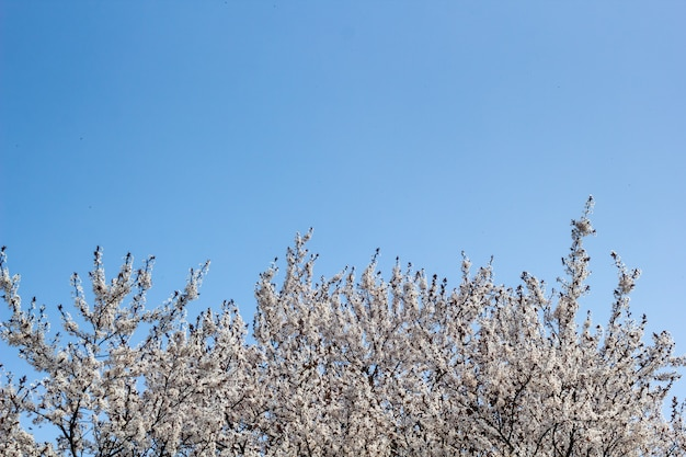 青い空に春のアプリコットの花 Premium写真