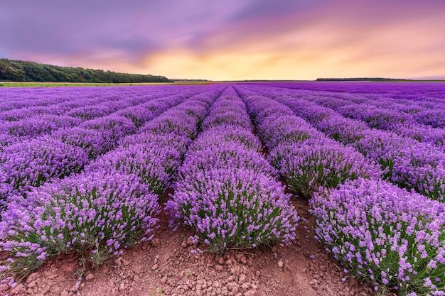 ラベンダー畑。劇的な空と咲く美しいラベンダーの香りの花。 Premium写真