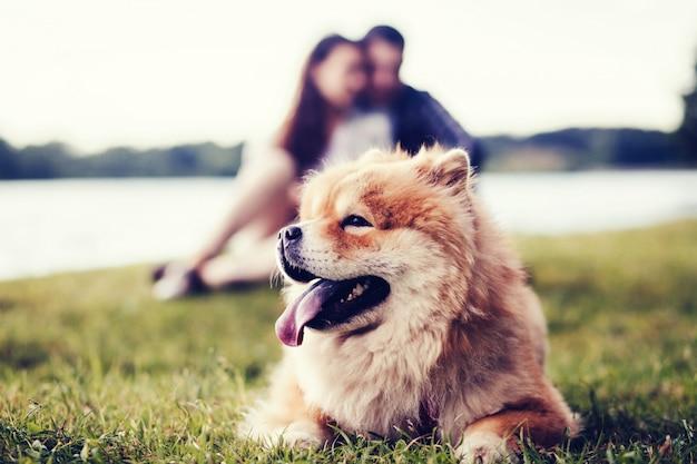 かわいい犬チャウチャウ Premium写真