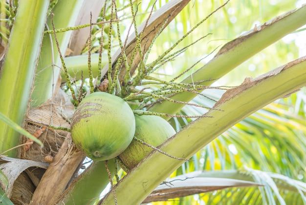 果樹園のココナッツの木のクローズアップココナッツ Premium写真
