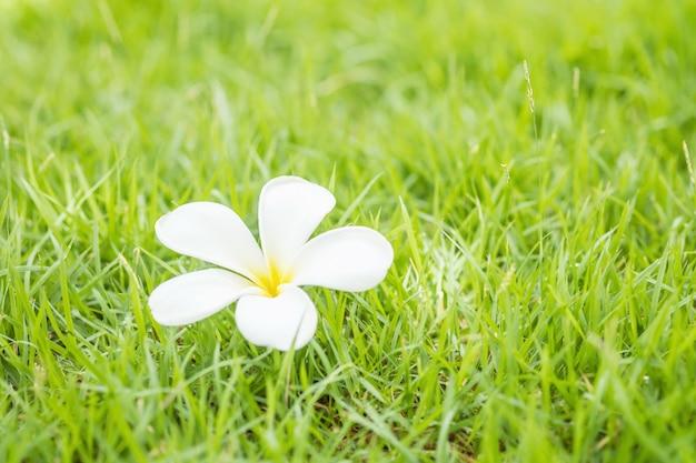 落ちた美しい白い花、庭のぼやけの新鮮な緑の芝生床テクスチャ背景の砂漠のバラの花 Premium写真