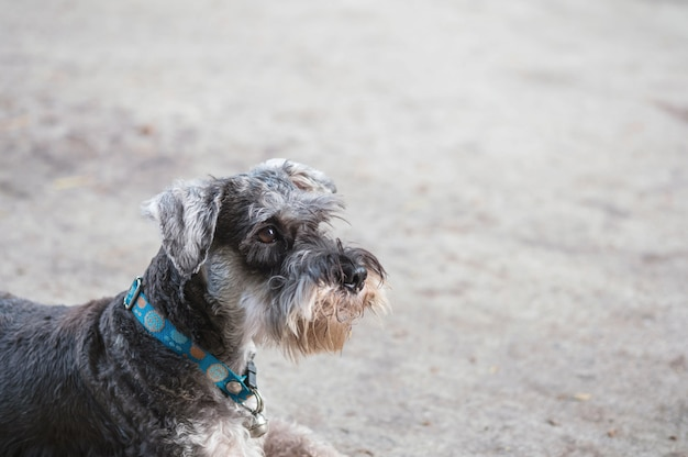 クローズアップシュナウザー犬の家の眺めの背景の前でぼやけているセメントの床を探して Premium写真