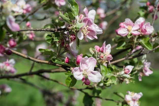 咲くアップルツリー Premium写真