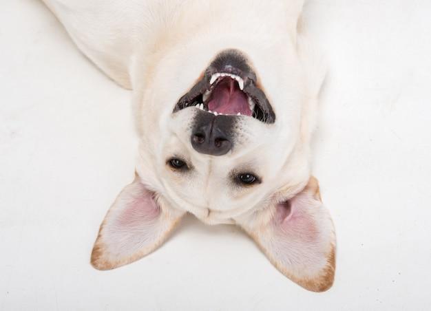 Морда крупного плана милой собаки лабрадора. Premium Фотографии