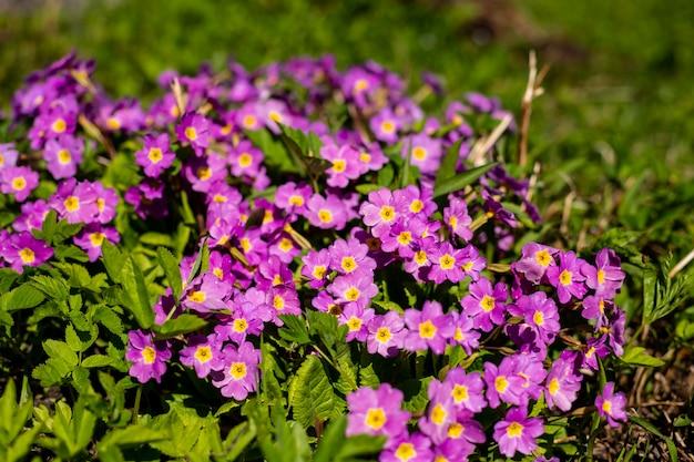 春の庭の多年生サクラソウまたはプリムラ。春のサクラソウ。美しい色のサクラソウの花の庭。太陽光の下で美しい花の背景。日当たりの良い春の天気。 Premium写真