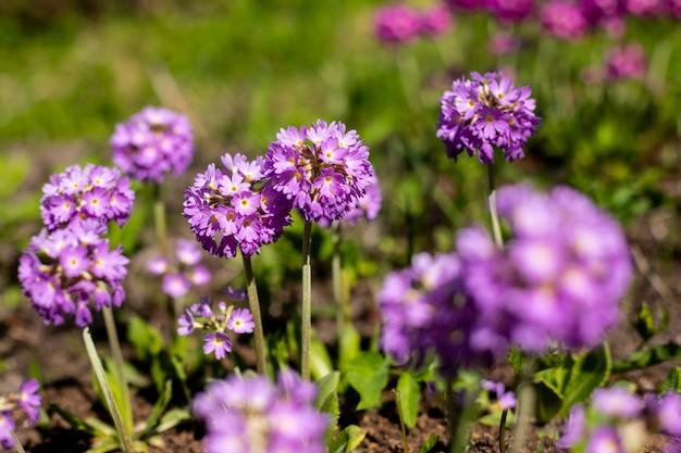すみれ色の花とプリムローズプリムラ。心に強く訴える自然の花春または夏咲く庭または柔らかい日光とぼやけたボケ背景の下で公園。カラフルな咲くエコロジー自然の風景 Premium写真