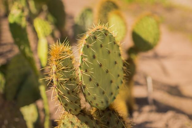 Кактус в пустыне Premium Фотографии
