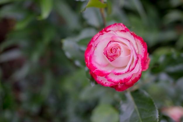庭の赤と白のバラの花 Premium写真