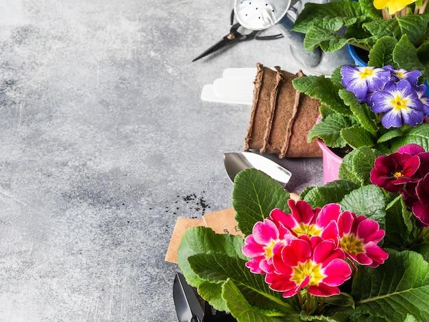 花の色とりどりのサクラソウとグレーのさまざまなガーデンツールの境界線 Premium写真
