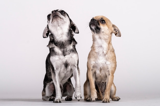 見上げるチワワ犬のカップル Premium写真