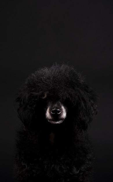 白い鼻とアフロの髪型と黒のプードル犬の肖像画 Premium写真