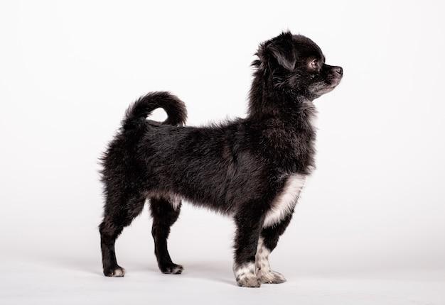 黒犬が立っているポーズ Premium写真