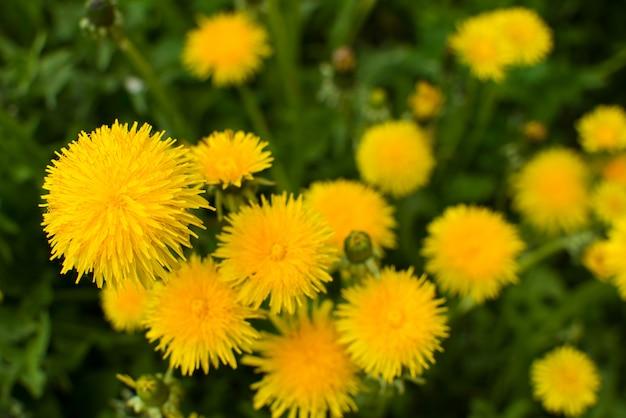 春のタンポポの雑草 Premium写真