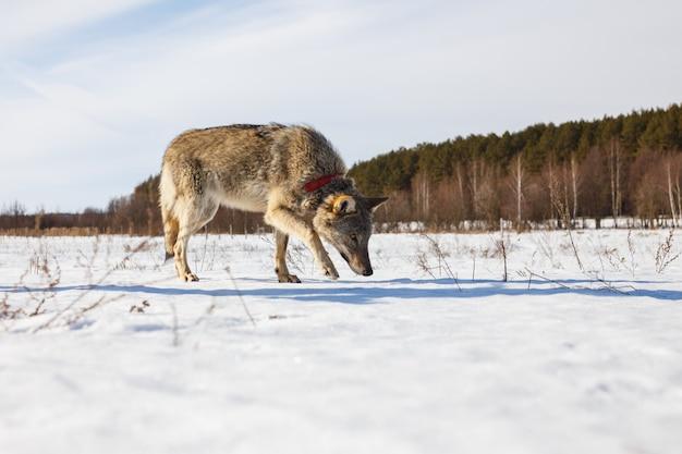 森の中の雪に覆われた冬の野原に沿って成長している灰色オオカミ Premium写真