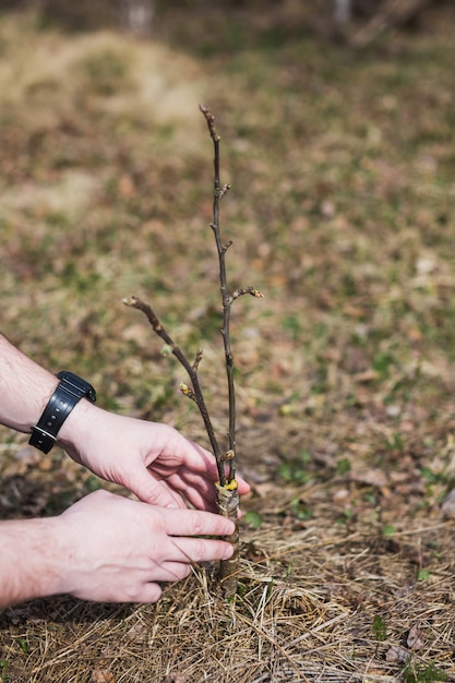 庭に木を接ぎ木するプロセス Premium写真