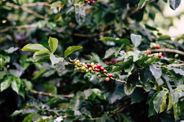 アラビカコーヒー豆の木 無料写真