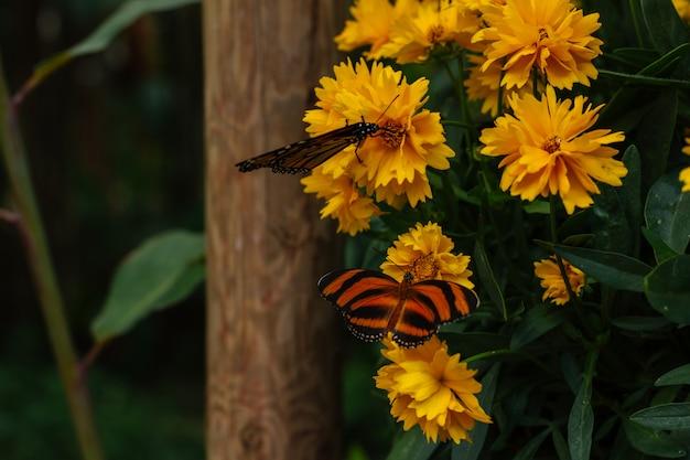 黄色の庭の花にオオカバマダラ蝶 無料写真